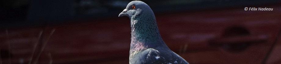 3-INT-Pigeon
